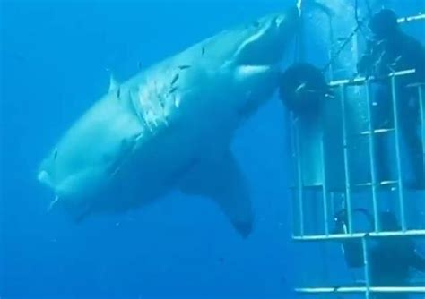 what is the largest great white shark ever recorded primer this may just be the largest great white shark ever caught