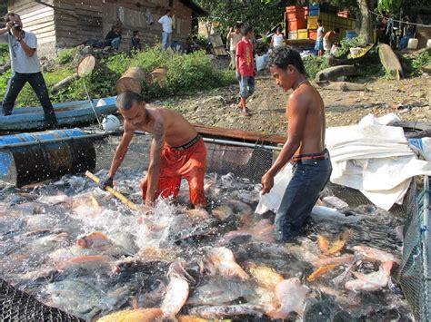 Pakan Yang Baik Untuk Larva Ikan Nila tingkatkan pembenihan ikan nila kkp kembangkan sistem