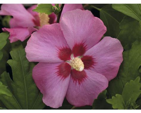 Aphrodite 60cm hibiskus hibiscus syriacus aphrodite 40 60 cm co bei