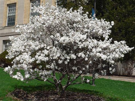 Meteran Oni 7 5m magnolija rasadnik mihalek