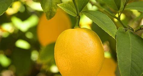terriccio per limoni in vaso terriccio per agrumi piante da frutto terriccio per