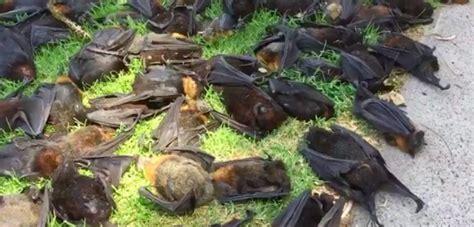 volpi volanti ondata di caldo estremo in australia piovono volpi