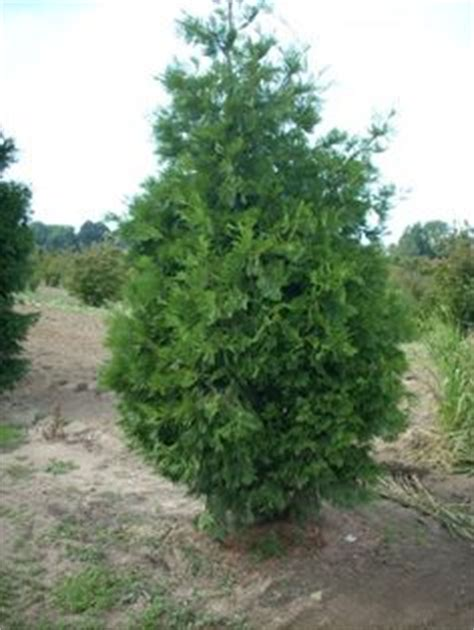 aromatic scale christmas trees 1000 images about evergreen trees on trees cedrus deodara and hue