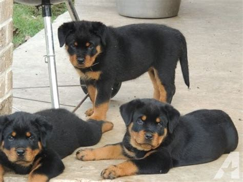 rottweiler puppies for sale in tx breed rottweiler puppies for sale for sale in richmond classified