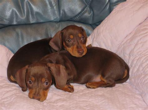 dachshund puppies michigan dachshund minature smooth puppies lowestoft suffolk pets4homes