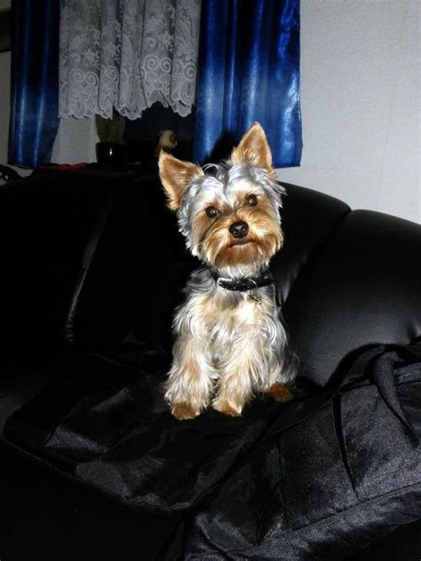 black yorkie terrier yorki black and silver kc registered black silver terrier ipswich yorki