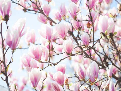 how to grow magnolia trees saga