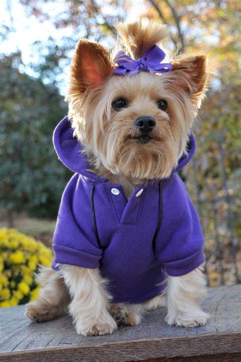 yorkie splash and shine shoo yli tuhat ideaa silky terrier pinterestiss 228 airedale terrier terrierit ja paimenkoirat