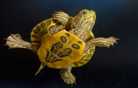 red eared slider babies care