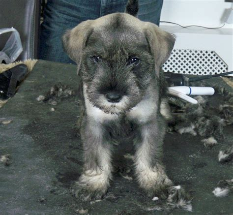 standard schnauzer puppies superb litter of standard schnauzer puppies bridgwater somerset pets4homes