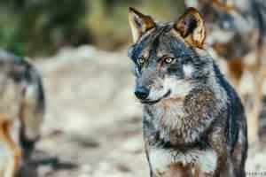 El lobo ib 233 rico en espa 241 a una especie dos posturas y tres