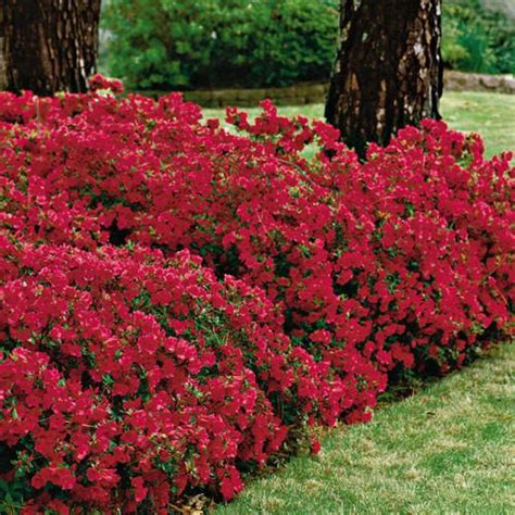 azalea bush colors azaleas made simple flowers favorite color