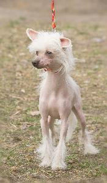 dogs with hair not fur breeds with hair not fur breeds picture