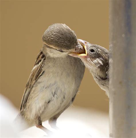 treknature feeding sparrow photo