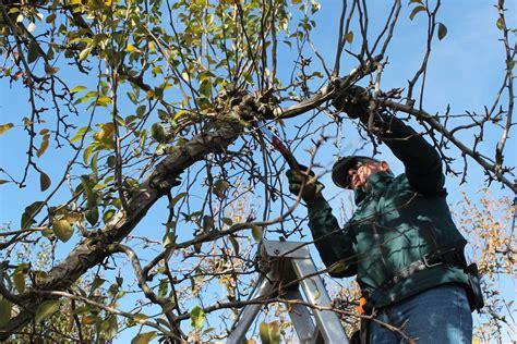 Birnbaum Schneiden by Birnbaum Schneiden Tipps Und Tricks Vom Experten Plantura