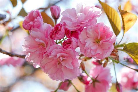 cherry blossom facts national cherry blossom festival fun facts hgtv