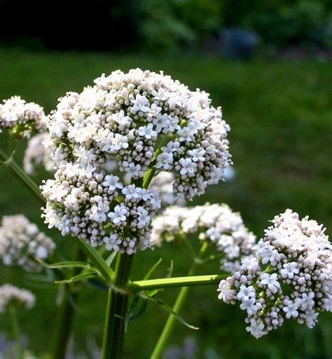 valerian root for dogs how to grow fragrant valerian valeriana officinalis and use valerian root for dogs