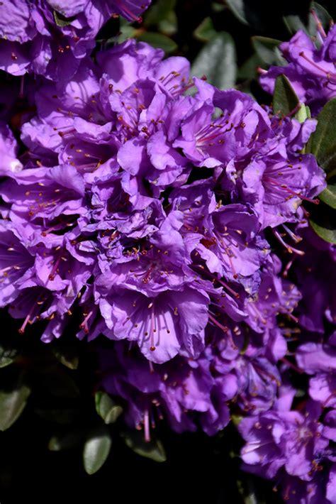 purple gem rhododendron rhododendron purple gem