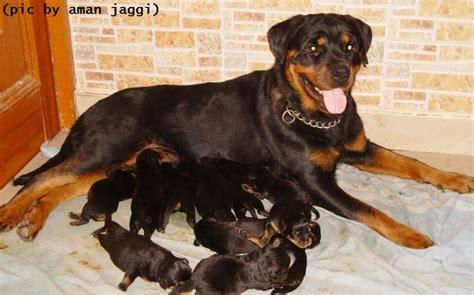 rottweiler for sale in punjab rottweiler price in india rottweiler puppy for sale in punjab india