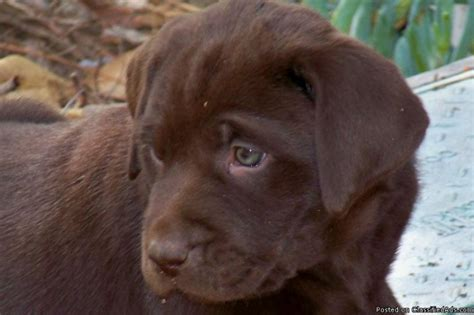 chocolate lab puppies price akc chocolate lab puppies price 300 350 for sale in perris california best