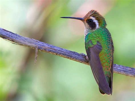 image gallery humming bird green