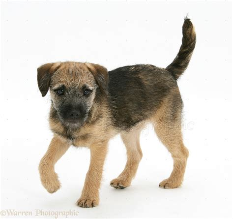 Dog: Border Terrier pup photo WP18802
