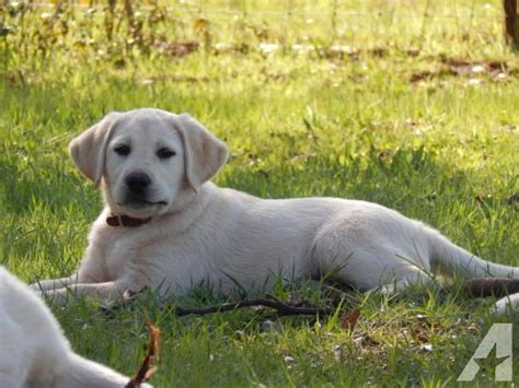 3 month lab puppy 3 month yellow labrador puppy show chion pedigree for sale in browns