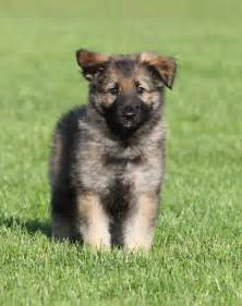 belgian sheepdog information shiloh shepherd puppy photo and wallpaper beautiful