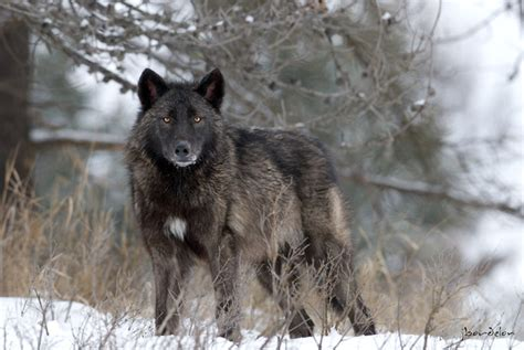 Joey Bordelon Photography North American Wolf North Black Wolf American
