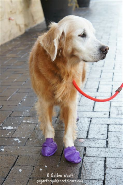 why do golden retrievers put their paw on you protect your s paws with pawz boots