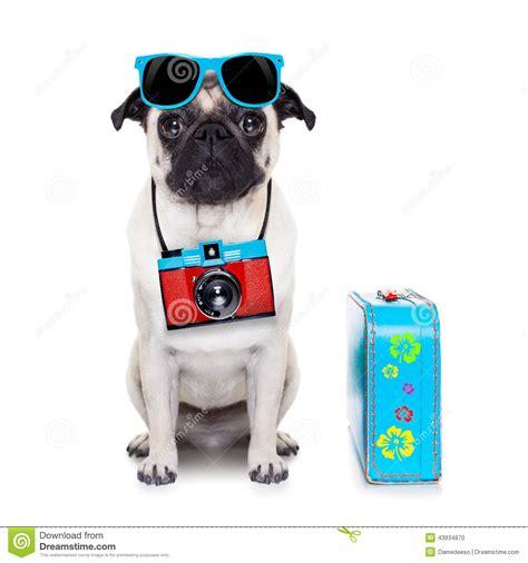pug photography photographer stock photo image 43934870