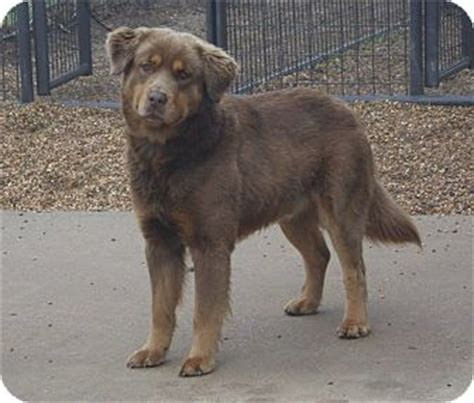 golden bay retriever dfw tx chesapeake bay retriever golden retriever mix meet a for adoption