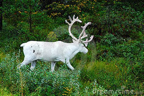 how to get raindear anters white white reindeer royalty free stock photos image 3353598