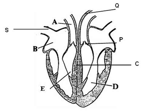heart cross section diagram diagram of heart cross section images how to guide and
