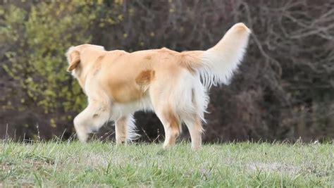 golden retriever names and meanings golden retriever definition meaning
