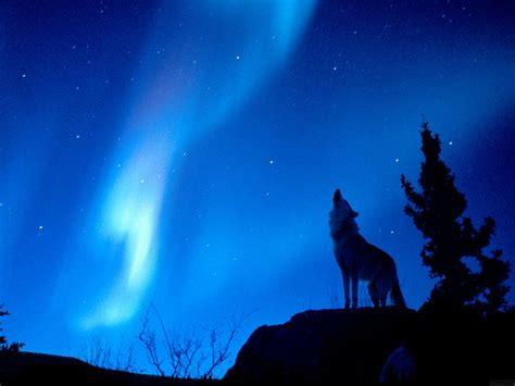 imagenes de lobos en 4k fondos de pantalla de lobos fondos de pantalla y mucho m 225 s