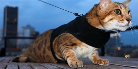 how to your to walk on a lead how to your cat to walk on a leash bengal cats
