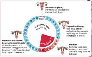 menstrual cycle worksheet abitlikethis