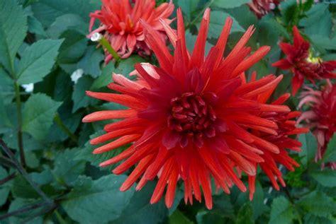 giorgine fiori la finestra di stefania tutte le piante possibili per fare