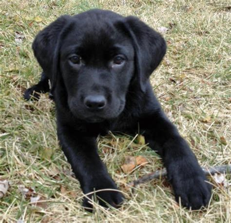 black retriever puppies buckshot the labrador retriever puppies daily puppy