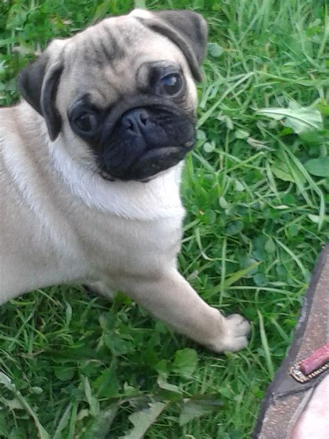 pug breeder uk pug puppies for sale uk manchester breeds picture