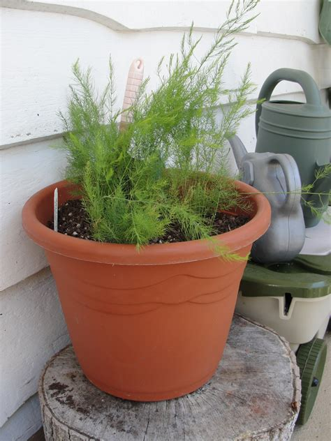 growing asparagus in a container little baby homegrown