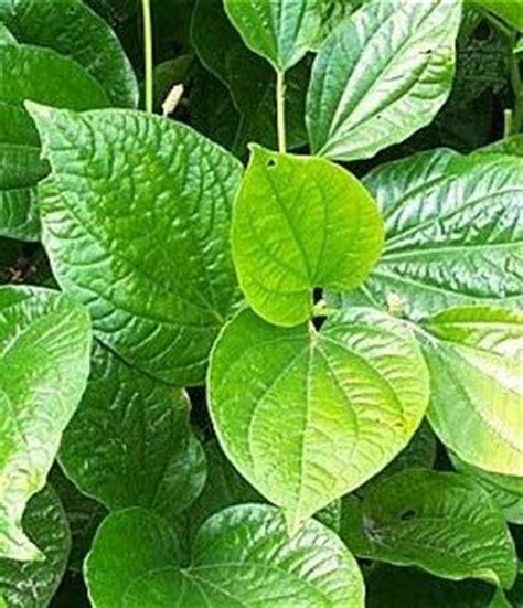 Betel Leaf Daun Sirih Essential 5ml 11 benefits of betel leaves for healthy health benefits of fruits