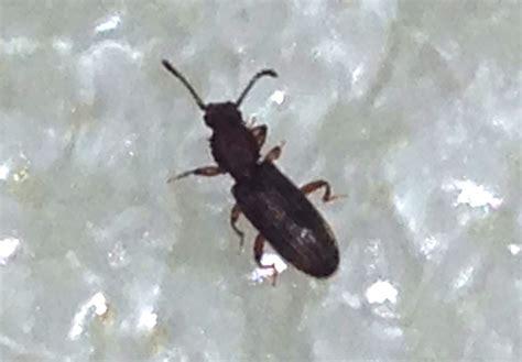 Pantry Weevil by Pantry Beetles Grain Weevils Spider Beetles Meal Worms