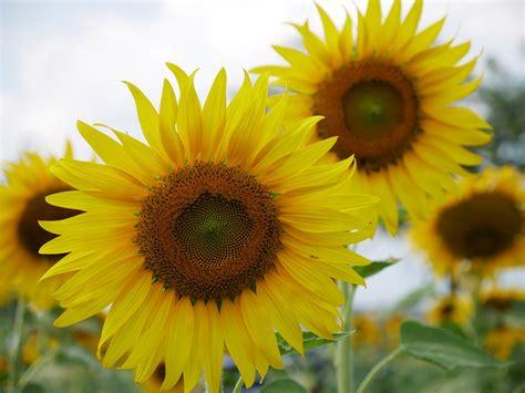 fiori girasole fiori gialli 5 variet 224 semplici da coltivare per un
