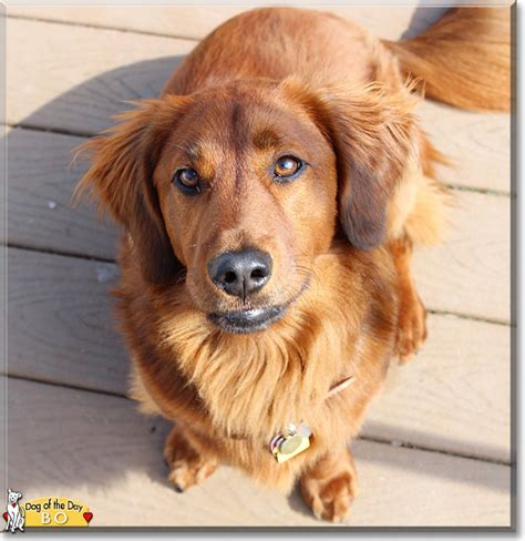 golden retriever weiner mix golden retriever dachshund mix www pixshark images galleries with a bite