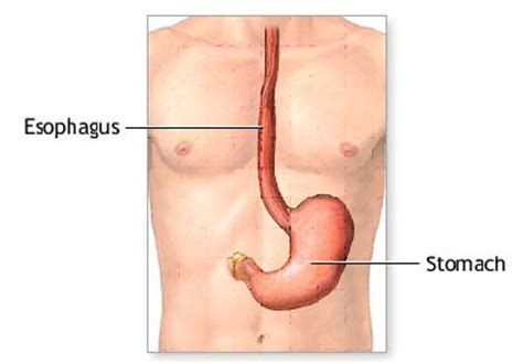 diagram of stomach and esophagus flashcards table on science 8 chapter 2 systems