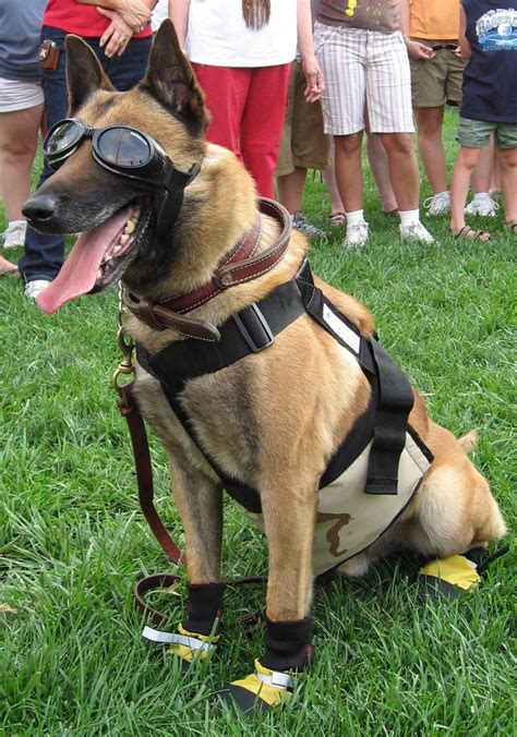 gear dogs a working in protective gear national k 9 veterans day is today