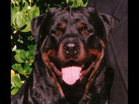 silverhill rottweilers silverhill rottweilers rottweiler puppies for sale