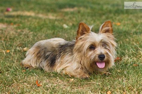 norwich terrier puppies for sale home breeds puppies for sale norwich terrier puppies breed breeds picture